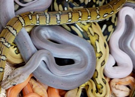 Picture for category Reticulated Pythons